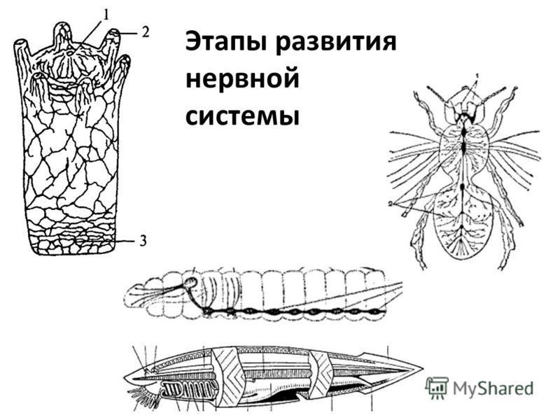 Этапы развития нервной системы