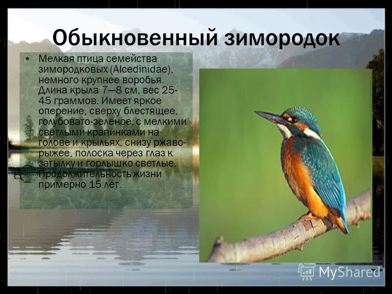 Обыкновенный зимородок Мелкая птица семейства зимородковых (Alcedinidae), немного крупнее воробья. Длина крыла 78 см, вес 25- 45 граммов. Имеет яркое оперение, сверху блестящее, голубовато-зеленое, с мелкими светлыми крапинками на голове и крыльях, с