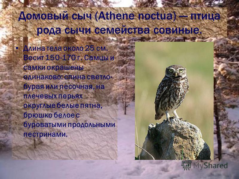 Домовый сыч (Athene noctua) птица рода сычи семейства совиные. Длина тела около 25 см. Весит 150-170 г. Самцы и самки окрашены одинаково: спина светло- бурая или песочная, на плечевых перьях округлые белые пятна, брюшко белое с буроватыми продольными