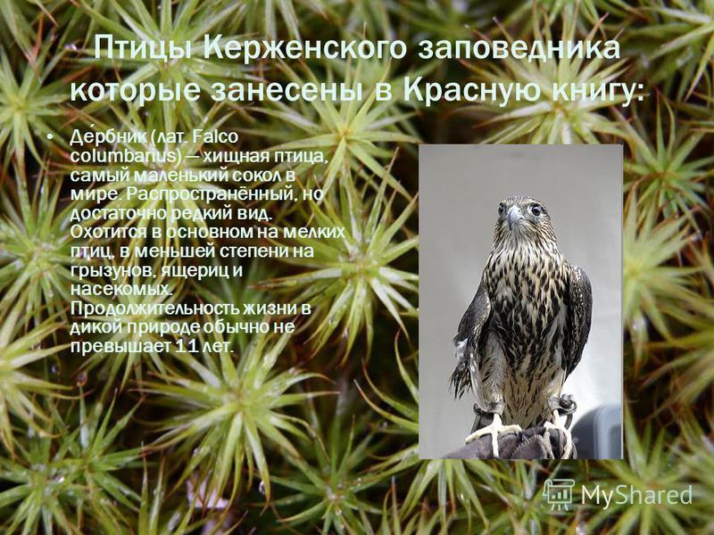 Птицы Керженского заповедника которые занесены в Красную книгу: Дербник (лат. Falco columbarius) хищная птица, самый маленький сокол в мире. Распространённый, но достаточно редкий вид. Охотится в основном на мелких птиц, в меньшей степени на грызунов