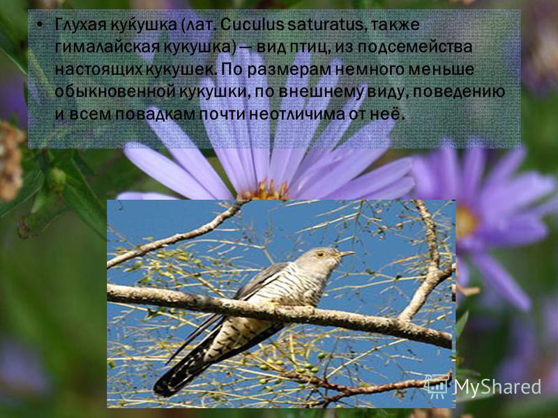 Глухая куќушка (лат. Cuculus saturatus, также гималайская кукушка) вид птиц, из подсемейства настоящих кукушек. По размерам немного меньше обыкновенной кукушки, по внешнему виду, поведению и всем повадкам почти неотличима от неё.
