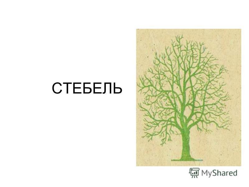 СТЕБЕЛЬ