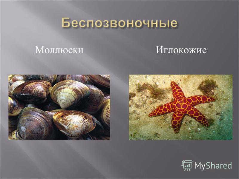 Моллюски Иглокожие