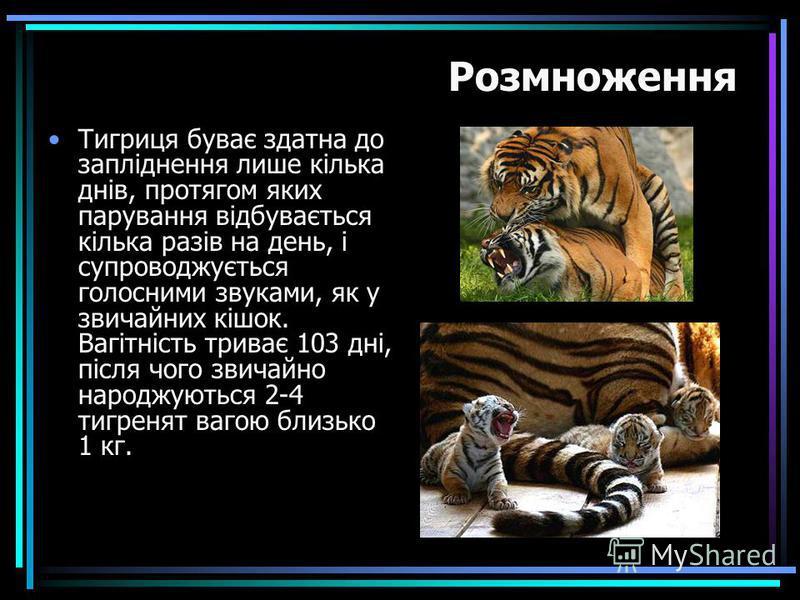 Тигриця буває здатна до запліднення лише кілька днів, протягом яких парування відбувається кілька разів на день, і супроводжується голосними звуками, як у звичайних кішок. Вагітність триває 103 дні, після чого звичайно народжуються 2-4 тигренят вагою