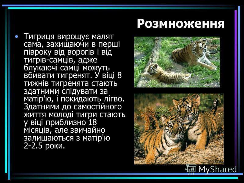 Тигриця вирощує малят сама, захищаючи в перші півроку від ворогів і від тигрів-самців, адже блукаючі самці можуть вбивати тигренят. У віці 8 тижнів тигренята стають здатними слідувати за матір'ю, і покидають лігво. Здатними до самостійного життя моло