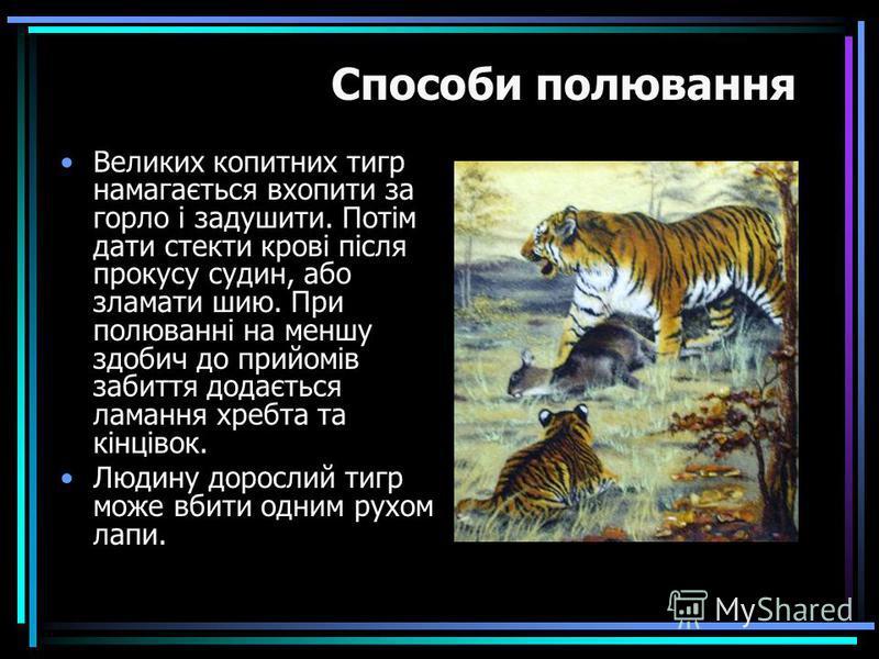 Великих копитних тигр намагається вхопити за горло і задушити. Потім дати стекти крові після прокусу судин, або зламати шию. При полюванні на меншу здобич до прийомів забиття додається ламання хребта та кінцівок. Людину дорослий тигр може вбити одним