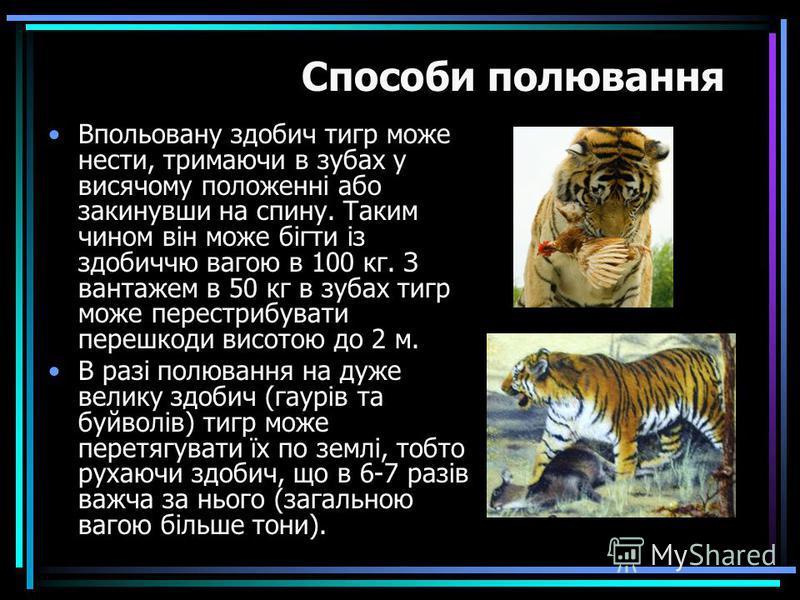 Впольовану здобич тигр може нести, тримаючи в зубах у висячому положенні або закинувши на спину. Таким чином він може бігти із здобиччю вагою в 100 кг. З вантажем в 50 кг в зубах тигр може перестрибувати перешкоди висотою до 2 м. В разі полювання на