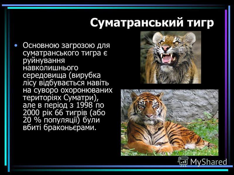 Основною загрозою для суматранського тигра є руйнування навколишнього середовища (вирубка лісу відбувається навіть на суворо охоронюваних територіях Суматри), але в період з 1998 по 2000 рік 66 тигрів (або 20 % популяції) були вбиті браконьєрами. Сум