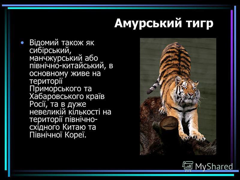 Відомий також як сибірський, манчжурський або північно-китайський, в основному живе на території Приморського та Хабаровського країв Росії, та в дуже невеликій кількості на території північно- східного Китаю та Північної Кореї. Амурський тигр