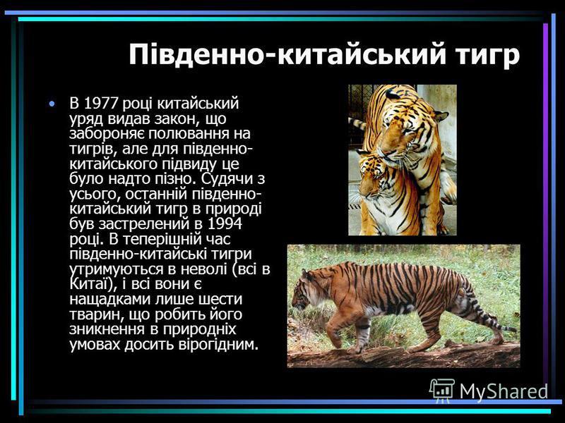 В 1977 році китайський уряд видав закон, що забороняє полювання на тигрів, але для південно- китайського підвиду це було надто пізно. Судячи з усього, останній південно- китайський тигр в природі був застрелений в 1994 році. В теперішній час південно