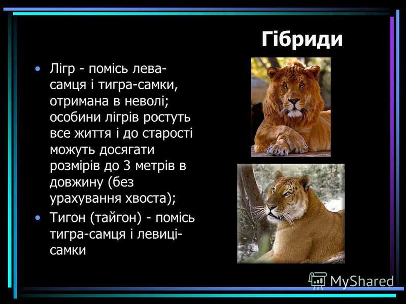 Лігр - помісь лева- самця і тигра-самки, отримана в неволі; особини лігрів ростуть все життя і до старості можуть досягати розмірів до 3 метрів в довжину (без урахування хвоста); Тигон (тайгон) - помісь тигра-самця і левиці- самки Гібриди