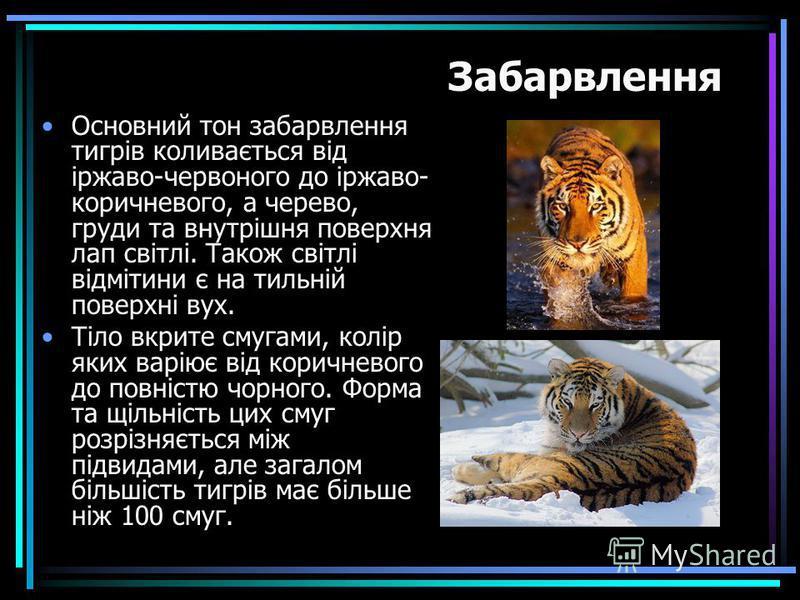 Основний тон забарвлення тигрів коливається від іржаво-червоного до іржаво- коричневого, а черево, груди та внутрішня поверхня лап світлі. Також світлі відмітини є на тильній поверхні вух. Тіло вкрите смугами, колір яких варіює від коричневого до пов