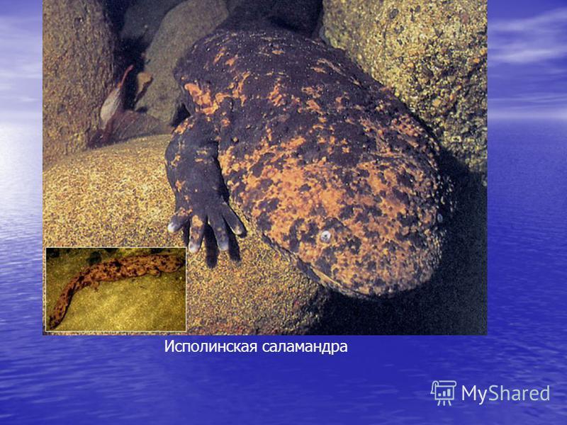 Исполинская саламандра