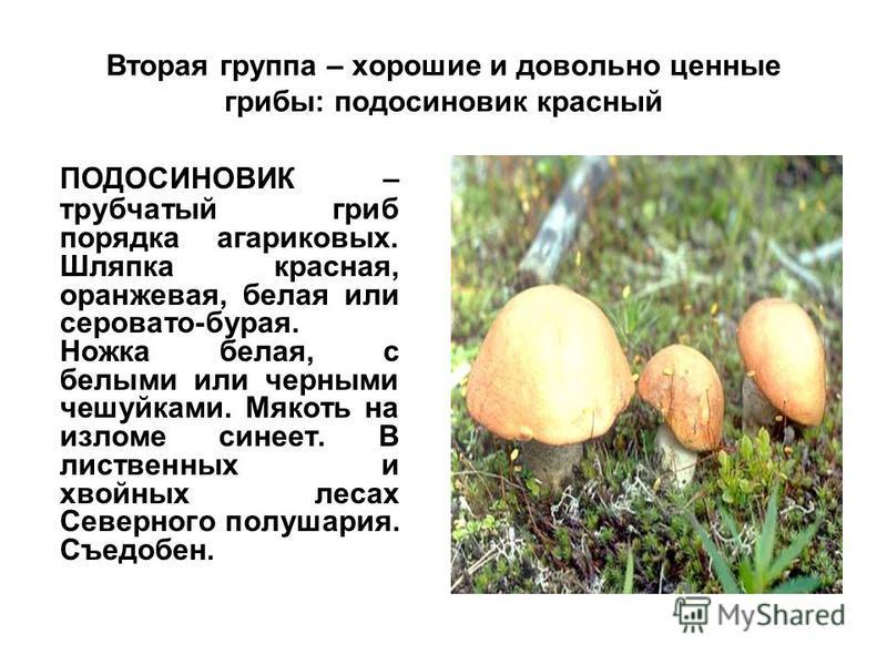 Вторая группа – хорошие и довольно ценные грибы: подосиновик красный ПОДОСИНОВИК – трубчатый гриб порядка агариковых. Шляпка красная, оранжевая, белая или серовато-бурая. Ножка белая, с белыми или черными чешуйками. Мякоть на изломе синеет. В листвен