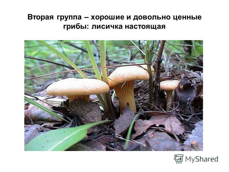 Вторая группа – хорошие и довольно ценные грибы: лисичка настоящая