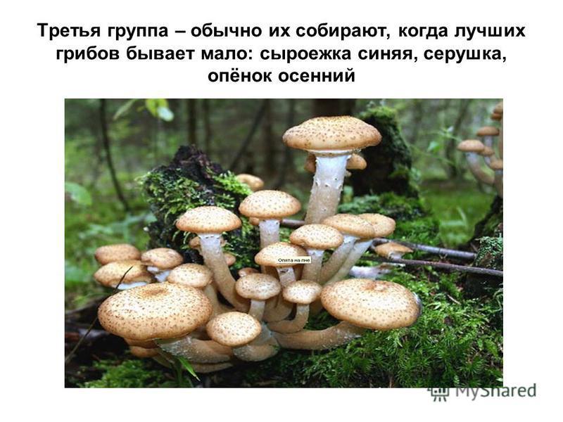 Третья группа – обычно их собирают, когда лучших грибов бывает мало: сыроежка синяя, серушка, опёнок осенний