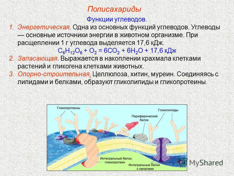 Полисахариды Функции углеводов. 1.Энергетическая. Одна из основных функций углеводов. Углеводы основные источники энергии в животном организме. При расщеплении 1 г углевода выделяется 17,6 к Дж. С 6 Н 12 О 6 + О 2 = 6СО 2 + 6Н 2 О + 17,6 к Дж 2.Запас
