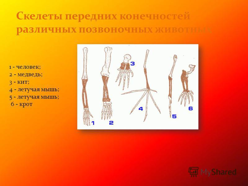 Скелеты передних конечностей различных позвоночных животных 1 - человек; 2 - медведь; 3 - кит; 4 - летучая мышь; 5 - летучая мышь; 6 - крот