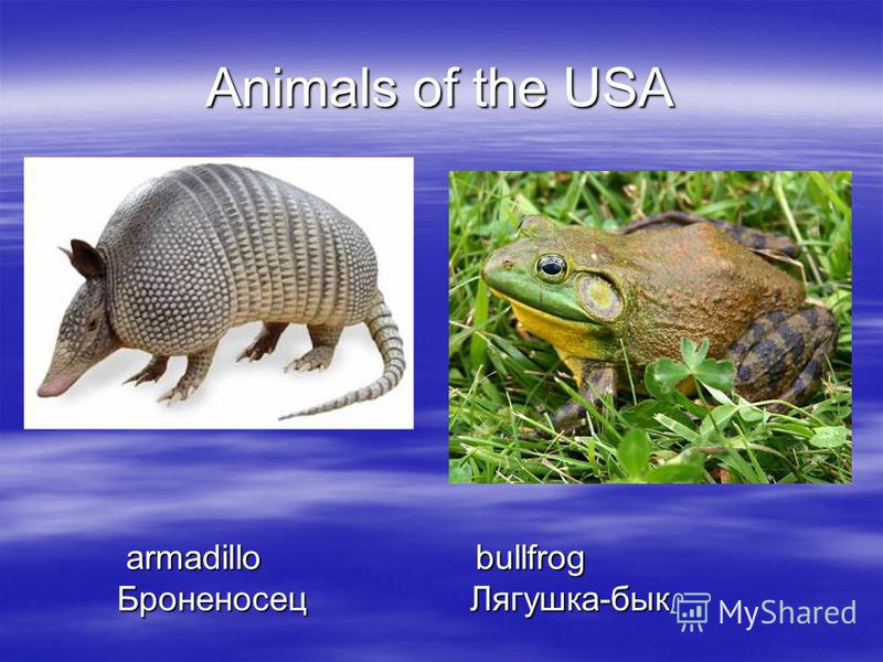 Animals of the USA armadillo bullfrog armadillo bullfrog Броненосец Лягушка-бык