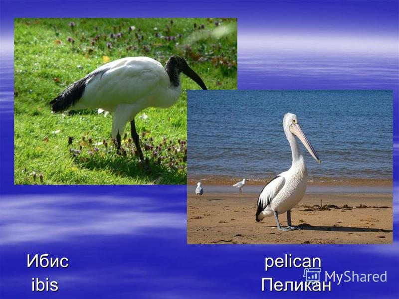 Ибис pelican Ибис pelican ibis Пеликан ibis Пеликан