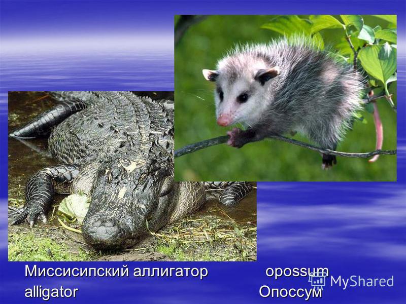 Миссисипский аллигатор opossum alligator Опоссум