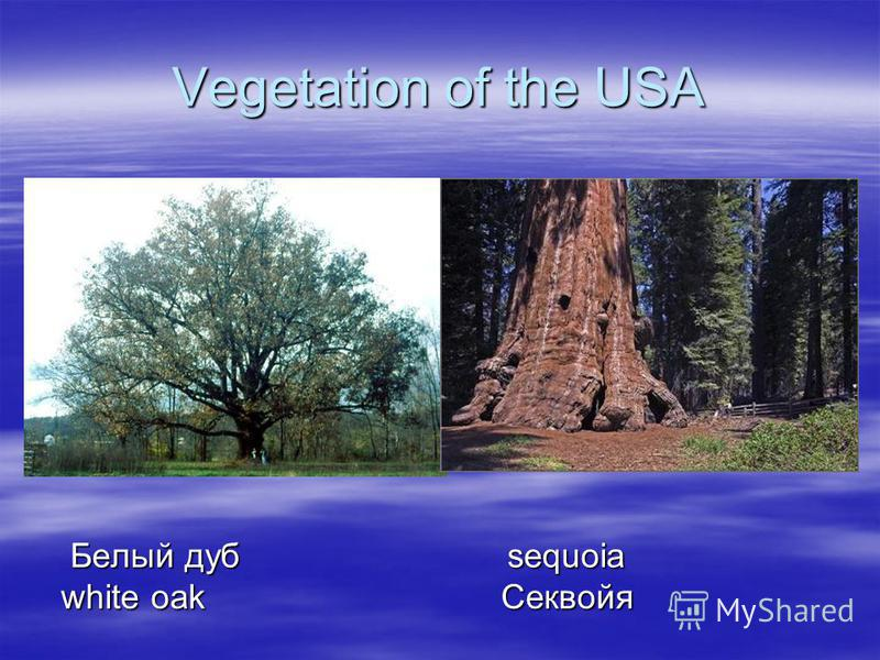 Vegetation of the USA Белый дуб sequoia Белый дуб sequoia white oakСеквойя
