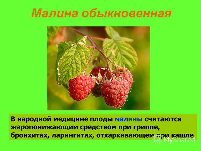В народной медицине плоды малины считаются жаропонижающим средством при гриппе, бронхитах, ларингитах, отхаркивающем при кашле Малина обыкновенная