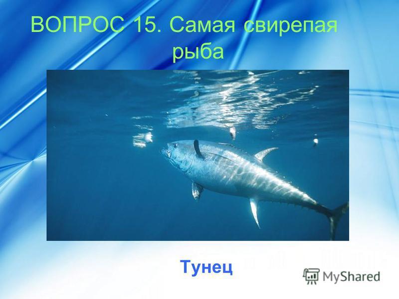 ВОПРОС 15. Самая свирепая рыба Тунец
