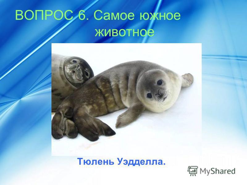 ВОПРОС 6. Самое южное животное Тюлень Уэдделла.