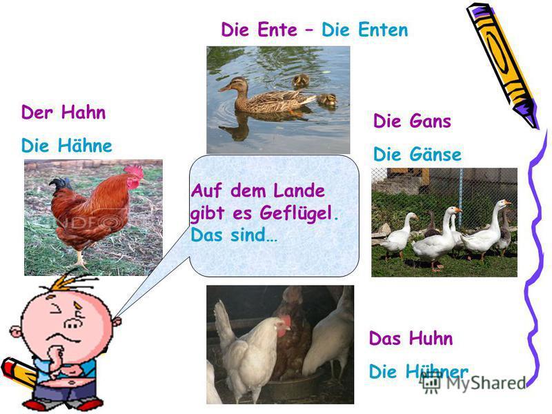 Auf dem Lande gibt es Geflügel. Das sind… Der Hahn Die Hähne Die Ente – Die Enten Die Gans Die Gänse Das Huhn Die Hühner