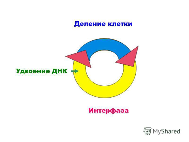 Деление клетки Интерфаза Удвоение ДНК