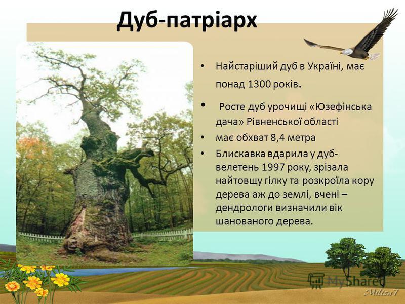 Дуб-патріарх Найстаріший дуб в Україні, має понад 1300 років. Росте дуб урочищі «Юзефінська дача» Рівненської області має обхват 8,4 метра Блискавка вдарила у дуб- велетень 1997 року, зрізала найтовщу гілку та розкроїла кору дерева аж до землі, вчені