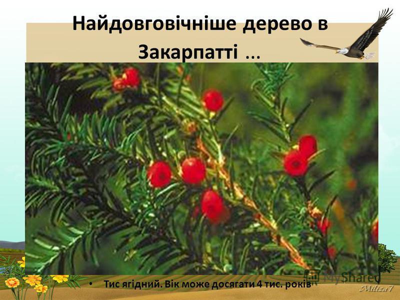 Найдовговічніше дерево в Закарпатті … Тис ягідний. Вік може досягати 4 тис. років