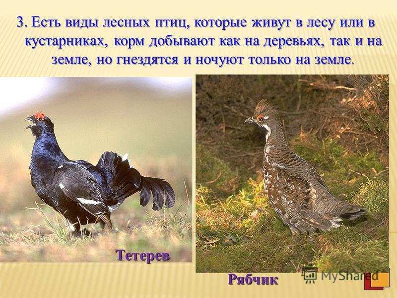 2. Менее обширна группа лесных птиц, которые живут в лесу или в зарослях крупных кустарников и гнездятся на деревьях, но охотятся в воздухе. Мухоловка- пеструшка