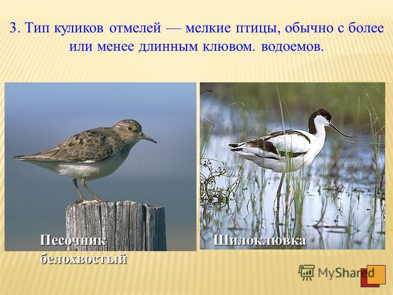 2. Тип лазающих болотных птиц включает средней и мелкой величины представителей, населяющих густые заросли травы на болотах или на сырых лугах.Погоныш Коростель