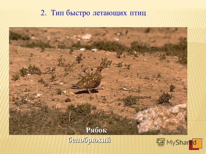 III. Степно-пустынные птицы 1. Тип бегающих птиц это обычно крупные птицы на длинных ногах, способные быстро бегать. Стрепет Дрофа Дрофа