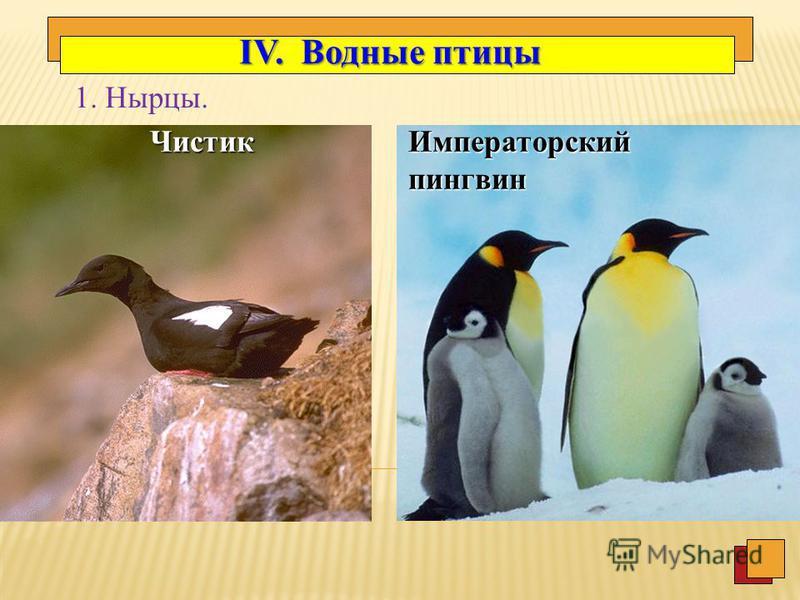 2. Тип быстро летающих птиц Рябок белобрюхий Рябок белобрюхий