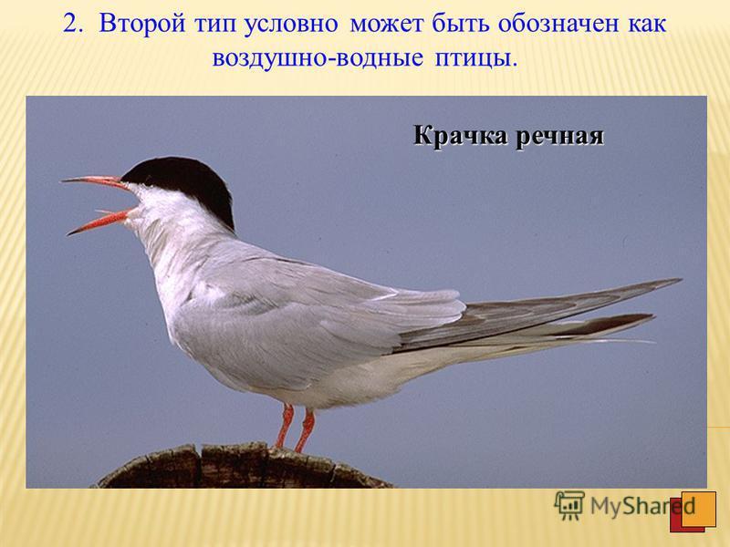 IV. Водные птицы 1. Нырцы. Чистик Императорский пингвин