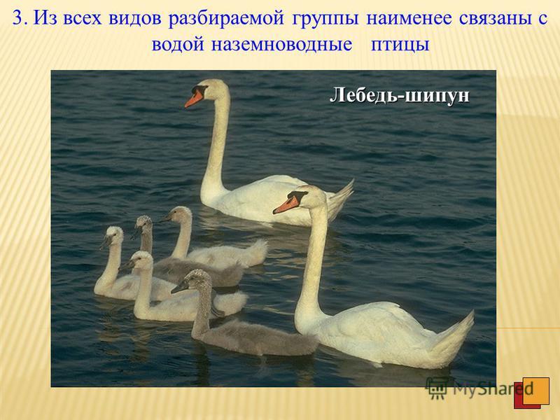 2. Второй тип условно может быть обозначен как воздушно-водные птицы. Крачка речная