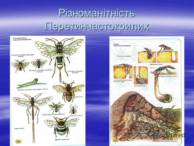 Різноманітність Перетинчастокрилих
