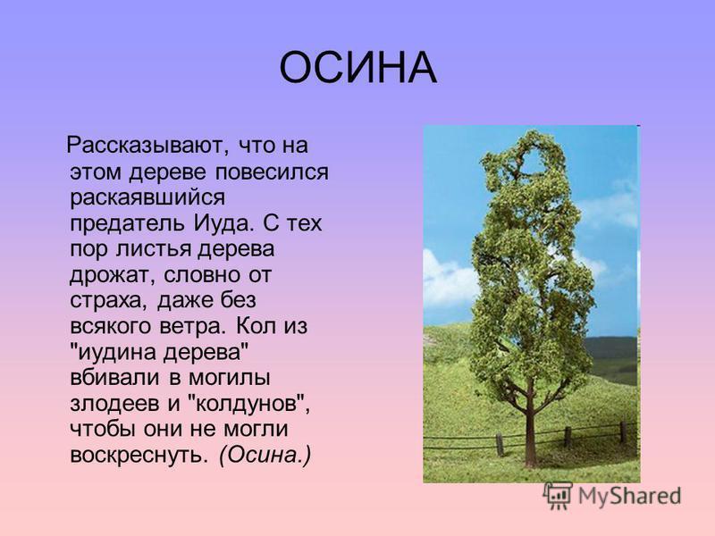 ОСИНА Рассказывают, что на этом дереве повесился раскаявшийся предатель Иуда. С тех пор листья дерева дрожат, словно от страха, даже без всякого ветра. Кол из