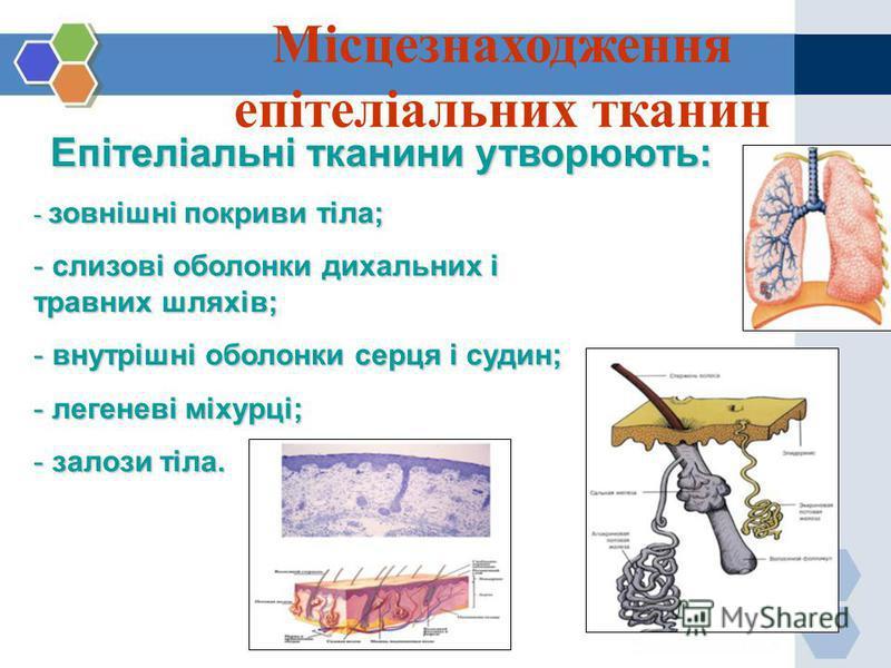 Місцезнаходження епітеліальних тканин Епітеліальні тканини утворюють: - зовнішні покриви тіла; - слизові оболонки дихальних і травних шляхів; - внутрішні оболонки серця і судин; - легеневі міхурці; - залози тіла.