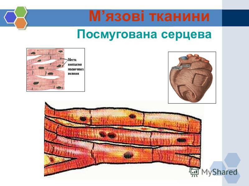 Посмугована серцева Мязові тканини