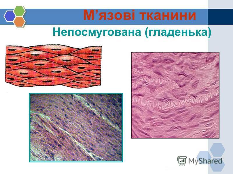 Непосмугована (гладенька) Мязові тканини