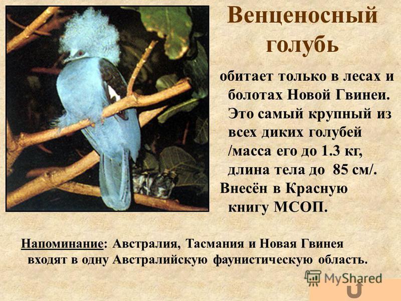 Венценосный голубь обитает только в лесах и болотах Новой Гвинеи. Это самый крупный из всех диких голубей /масса его до 1.3 кг, длина тела до 85 см/. Напоминание: Австралия, Тасмания и Новая Гвинея входят в одну Австралийскую фаунистическую область.