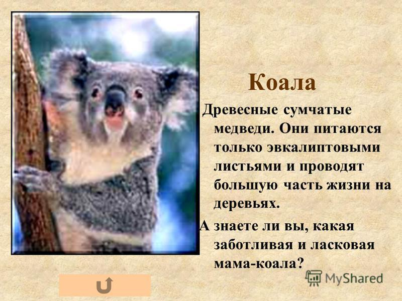 Коала Древесные сумчатые медведи. Они питаются только эвкалиптовыми листьями и проводят большую часть жизни на деревьях. А знаете ли вы, какая заботливая и ласковая мама-коала?