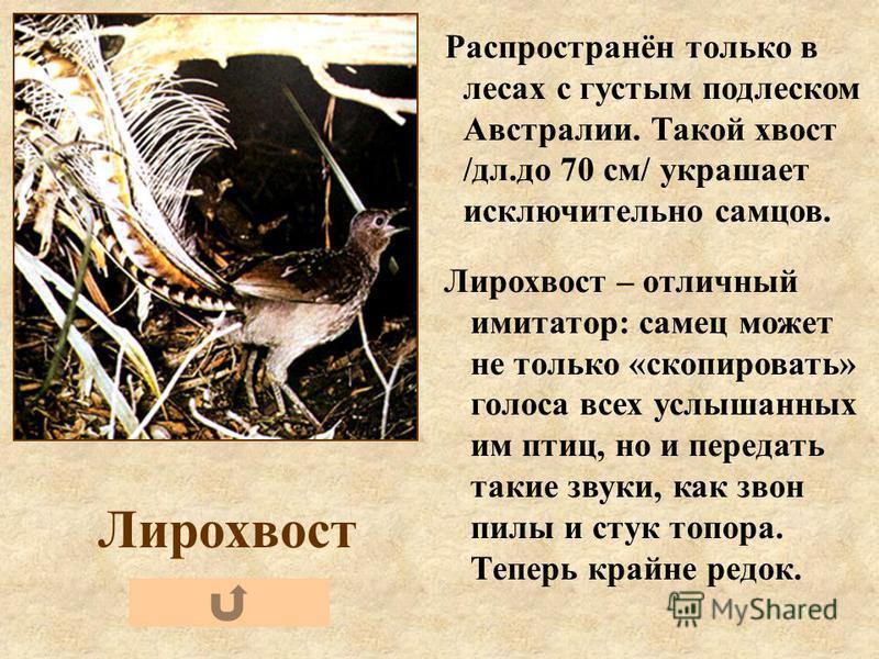 Лирохвост Распространён только в лесах с густым подлеском Австралии. Такой хвост /дл.до 70 см/ украшает исключительно самцов. Лирохвост – отличный имитатор: самец может не только «скопировать» голоса всех услышанных им птиц, но и передать такие звуки