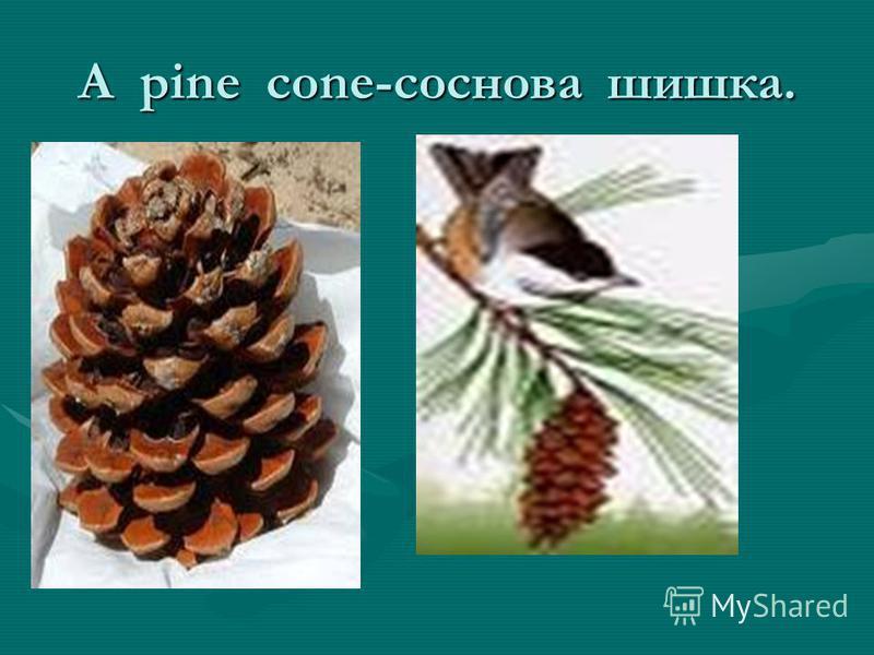 A pine cone-соснова шишка.