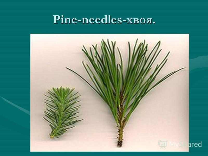 Pine-needles-хвоя.