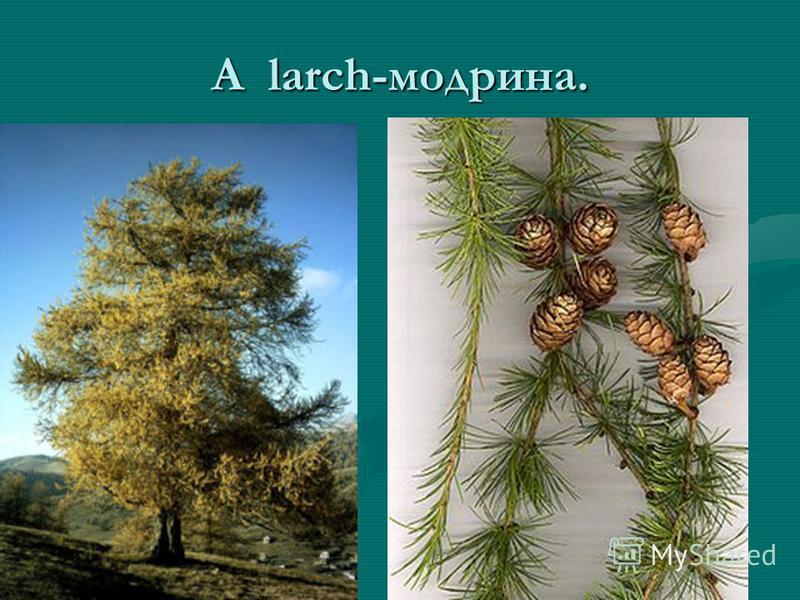 A larch-модрина.